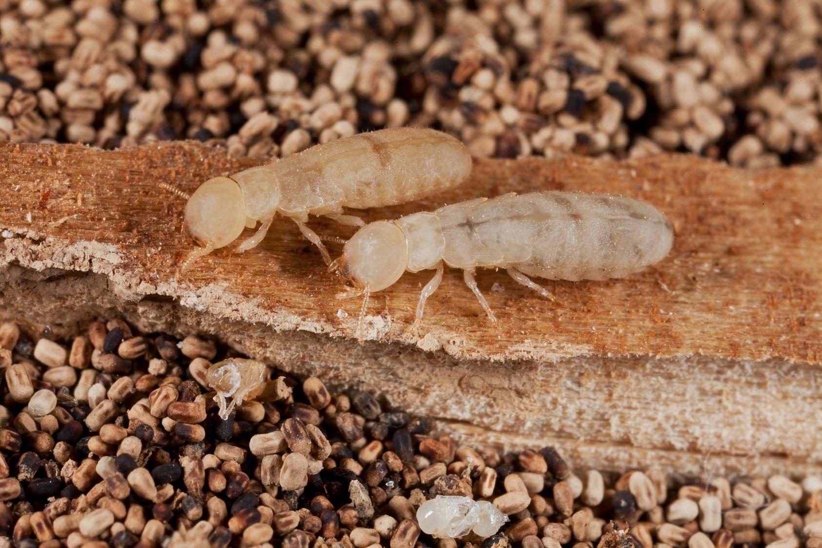 53_Drywood Termites.jpg