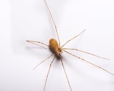 Cellar Spider In Mount Laurel
