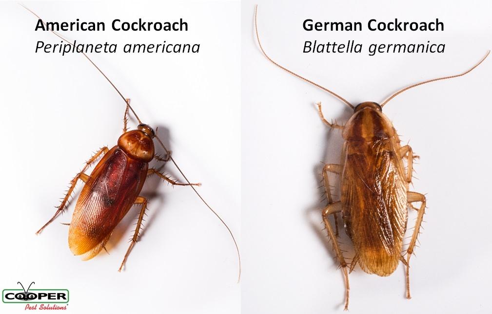 American Cockroach Treatment NJ