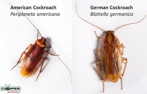 American Cockroach vs. German Cockroach