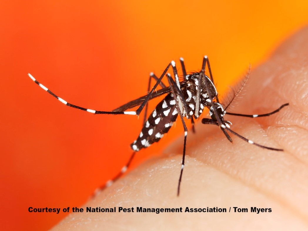 Asian Tiger Mosquito In My Yard