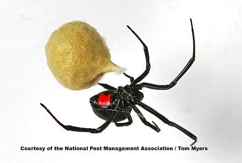 Black Widow Spider NJ PA.jpg