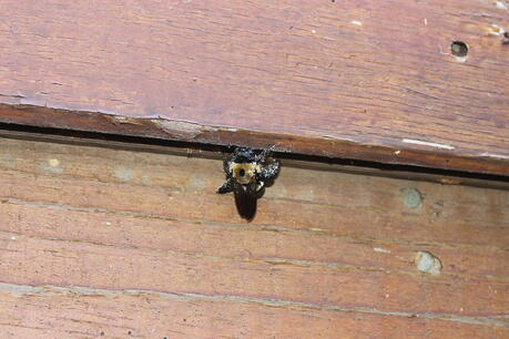 carpenter bee nesting