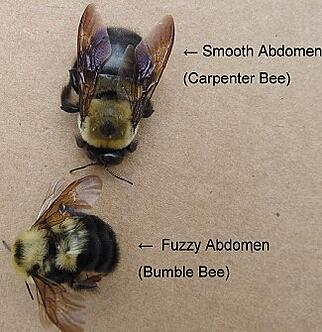 Carpenter Bee Or Bumble Bee