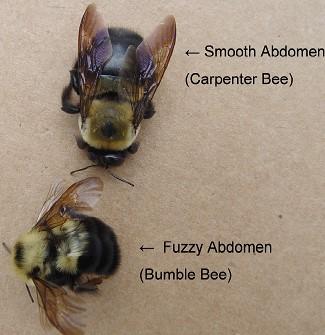 Carpenter Bee Or Bumble Bee
