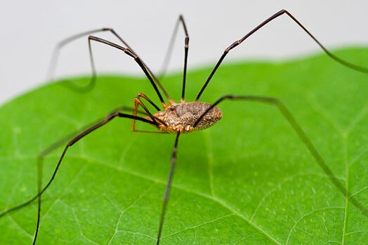 Are Daddy Longlegs Poisonous