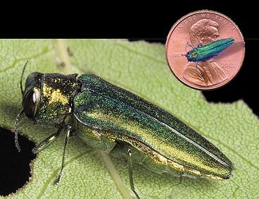 Spotted Lanternflies and Emerald Ash Borers: What can I do?