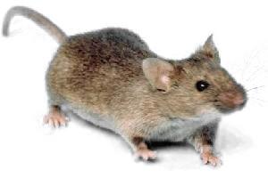 House Mouse Exterminator Pennsylvania