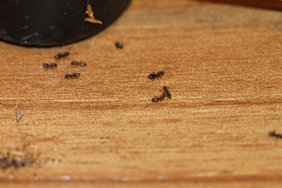 Odorous House Ants NJ.jpg