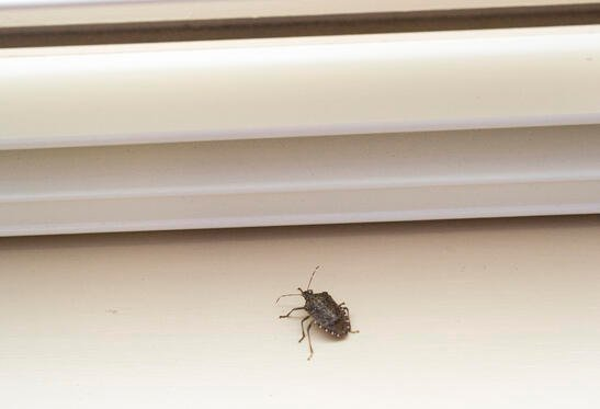 Stink Bugs In My House