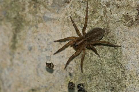Wolf Spider In NJ.jpg