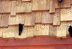 Woodpecker Home Damage