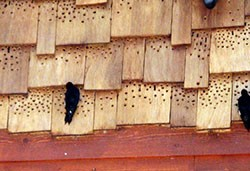 Woodpecker Home Damage