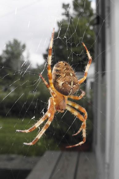 araneus-diadematus cross orbweaver www.spiders.us.jpg