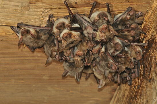 Bats In My Attic