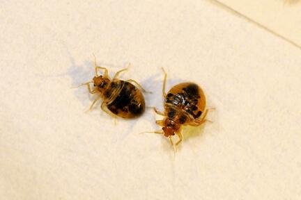 bed bugs NJ
