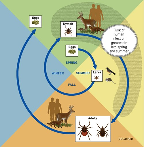 blacklegged tick lifecycle cdc