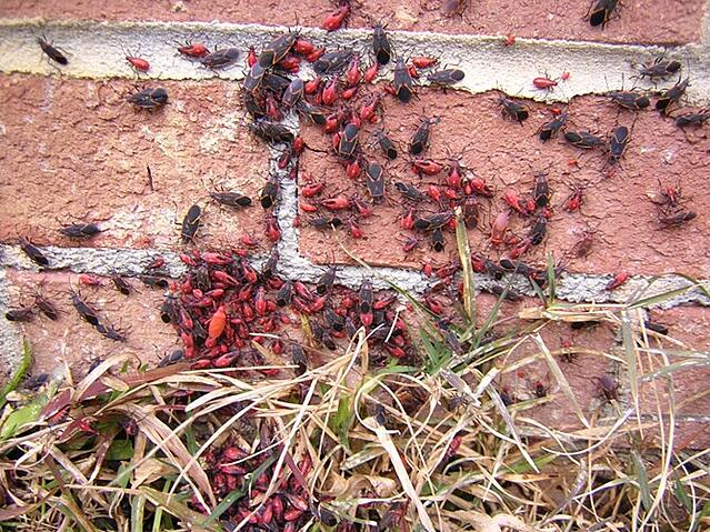 boxelder bugs on house pestworld.org