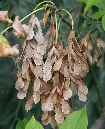 boxelder tree seeds minnesota university extension
