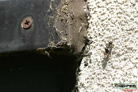 Carpenter Ant In NJ