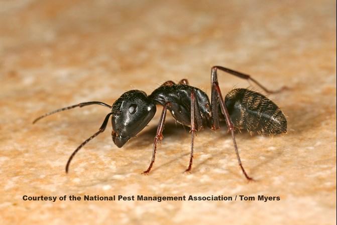 Carpenter Ant Service Lansdale