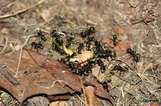Carpenter Ants In Monroe NJ