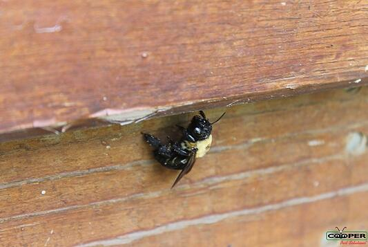 Carpenter bees living in wood