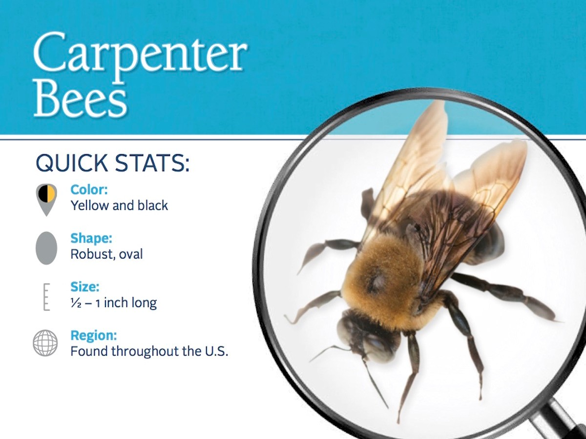 Carpenter Bee Removal Manalapan NJ