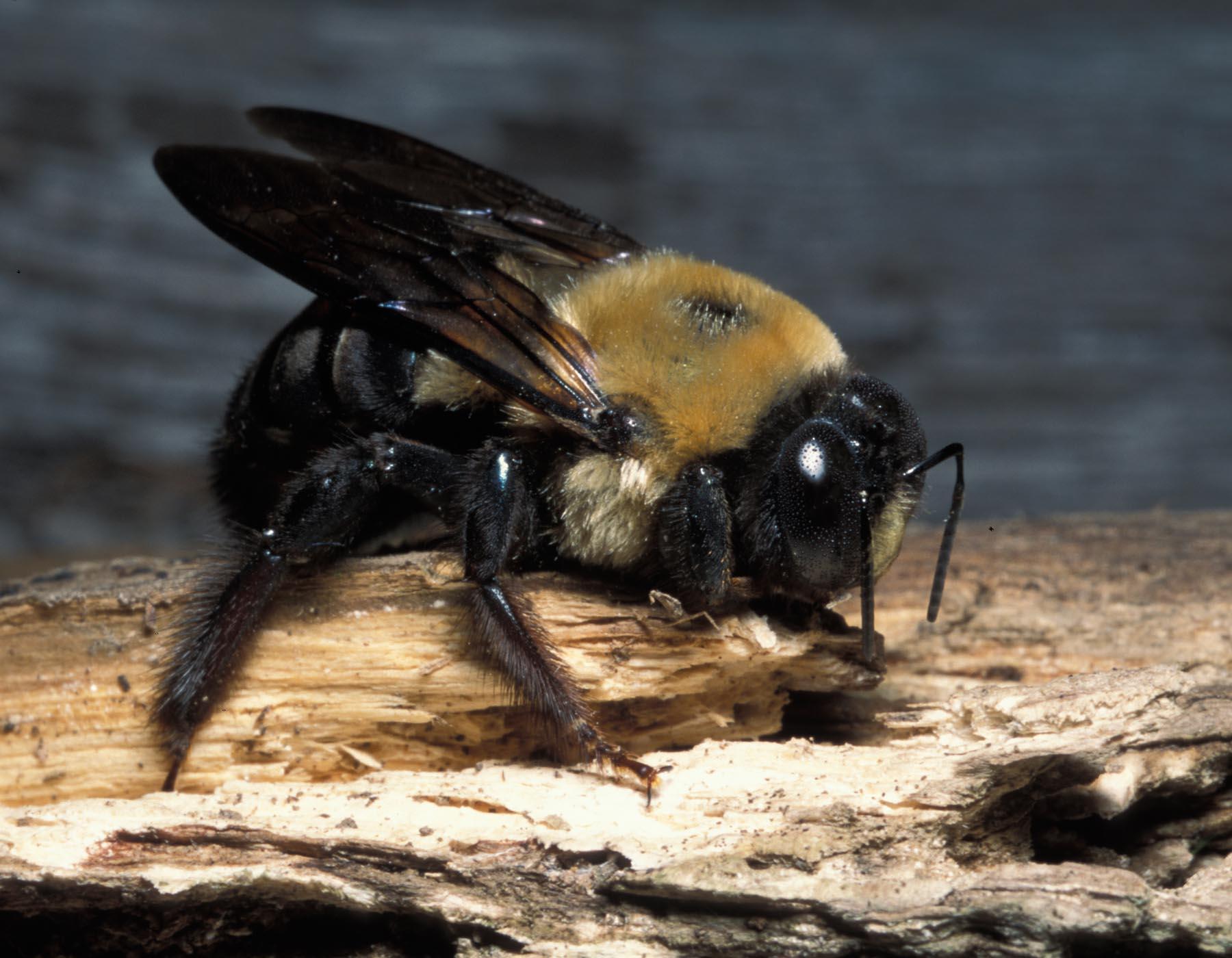 Carpenter Bee Service Lansdale