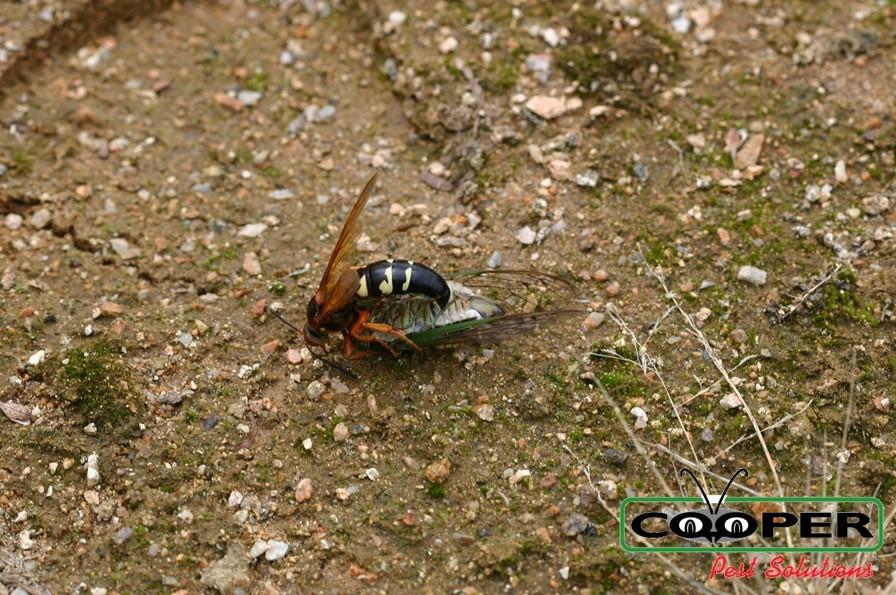 cicada killer image.jpg