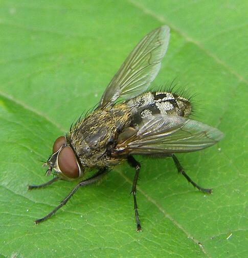 Cluster Fly Exterminator