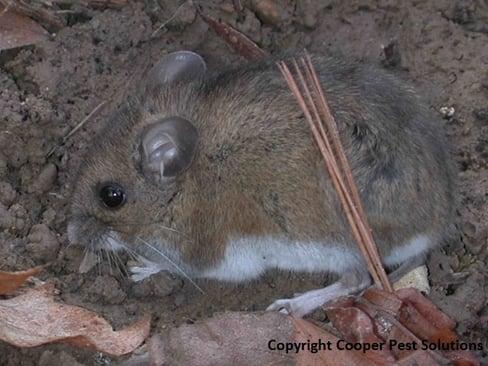 Mouse In Hillsborough NJ