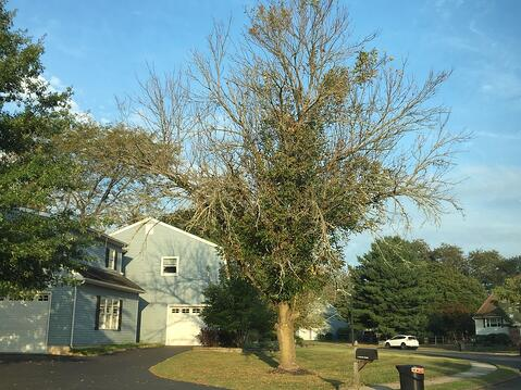 Ash Trees Dying In New Jersey