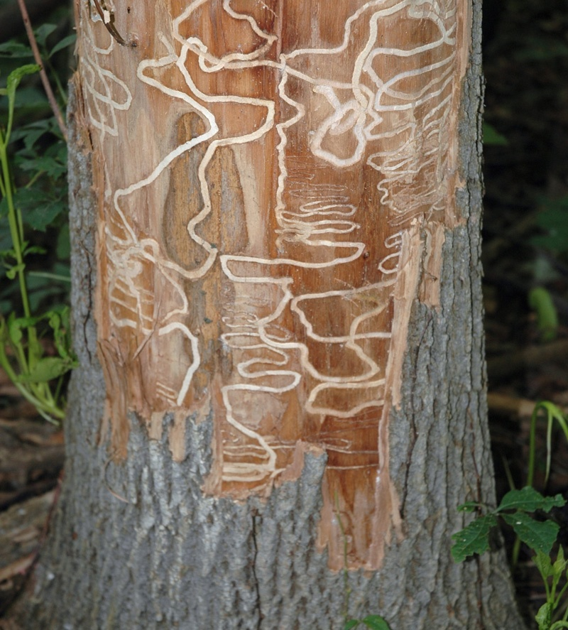 Emerald Ash Borer Ash Tree Damage