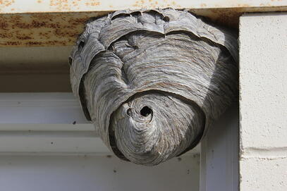 Hornet Nest Removal