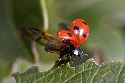 ladybug pixabay
