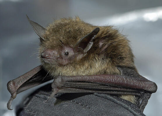 little brown bat North Carolina Bat Working Group
