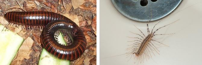 millipede vs centipede