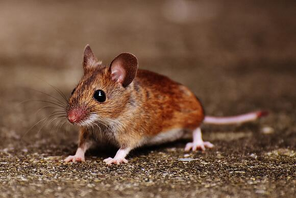 Mouse Removal in Bucks County