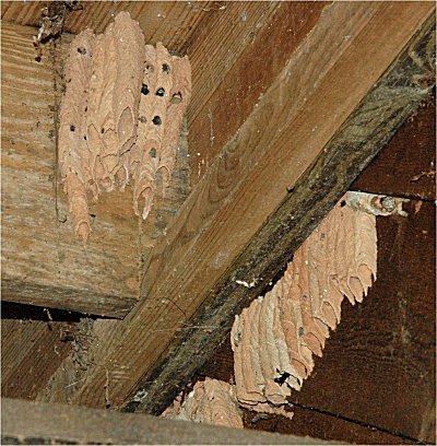 Mud Wasp Nest Service