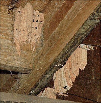 Mud Wasp Nest Service
