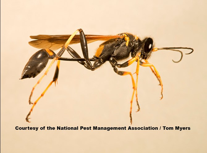 Mud Wasp Nest Removal Lansdale