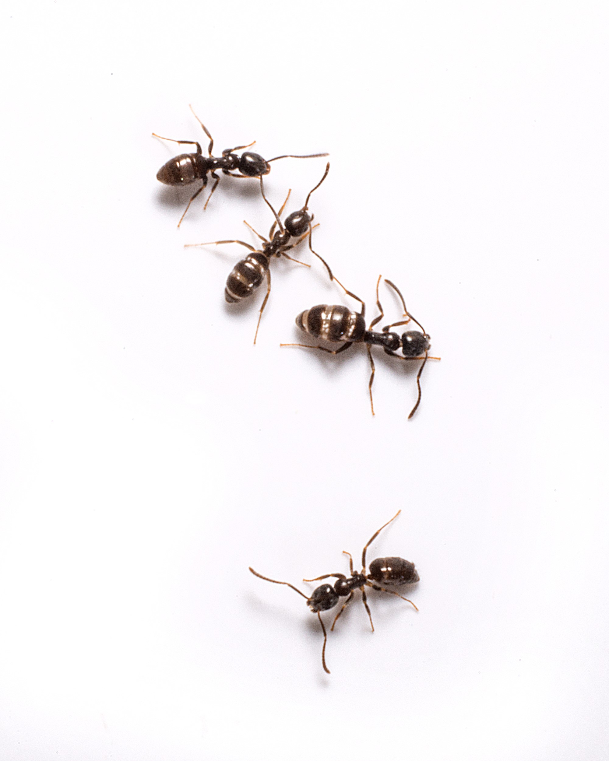 how to get rid of red ants in my house