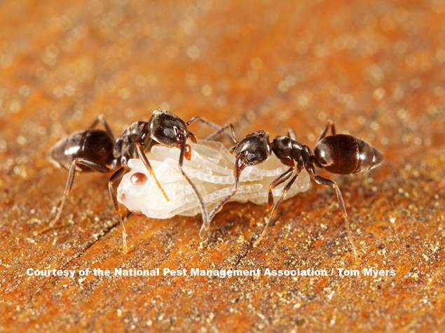 Odorous House Ant Service Lansdale