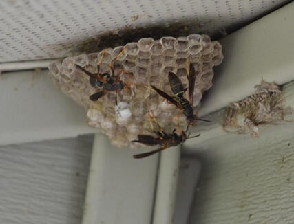 Paper Wasp Nest Removal