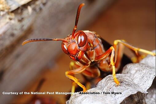 Paper Wasp Nest Removal Lansdale