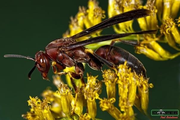 Paper Wasp NJ