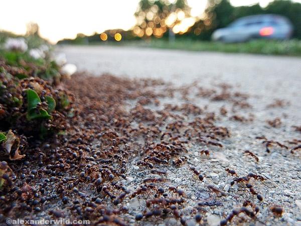 pavement ants.jpg