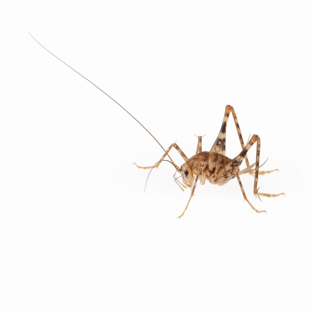 spider cricket.jpg