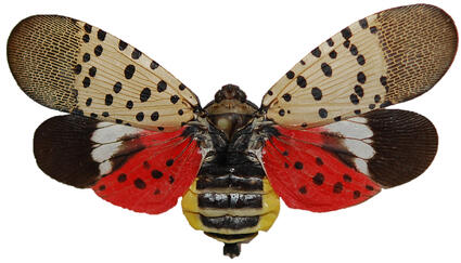 Spotted Lanternfly Pennsylvania